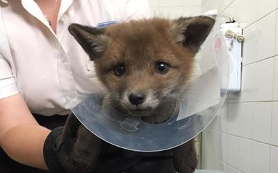 Young fox at Rochdale RSPCA